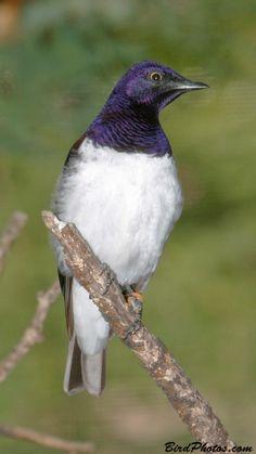 Birds Purple-headed Starling