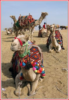 Camels, camels, and more camels... - Giza, Cairo.EGYPT.*-*.