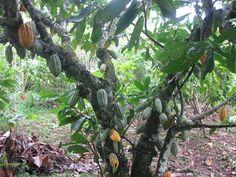 ¿Injertar o Sustituir? Red Nacional de Investigación e Innovación en Cacao y Chocolate : Como Rehabilitar un Cultivo de Cacao no Rentable