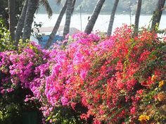 "The burst of colors from these #Bougainvilleas off the sun's rays can only be appreciated by the early morning riser at the @Beach_Luxury Hotel, #Karachi (please visit us at http://avari.com/property/beach-luxury & ""Like"" us on FB- https://www.facebook.com/beachluxuryhotel)"