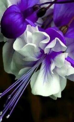 Flowers – Gardeners Advice - beautiful flowers around the world - Unique Flowers, Flowers Nature, Exotic Flowers, Amazing Flowers, My Flower, Purple Flowers, Flower Power, Beautiful Flowers, Fuchsia Flower