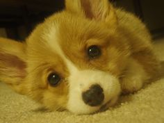 The Daily Corgi: Catching Up With CorgiPals
