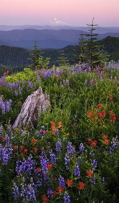 Flower field in Washington with view across the Columbia River Gorge to Mt. Hood in Oregon • photo: Rick Lundh on 500px
