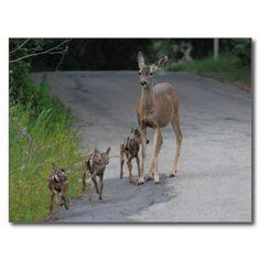 Mule Deer Doe and Her Triplets Post Card