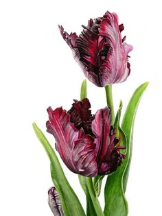 "Anna Mason Art | Black Parrot Tulips Botanical print from an original water-colour £60 9"" x 12""  Shipped worldwide http://annamasonart.com"