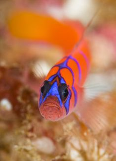 Blue-banded Goby - ©Scott Gietler www.uwphotographyguide.com/underwater-photography-creative-shooting