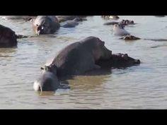Happy Hippo ( FSK 18 ? ) ;-) - YouTube