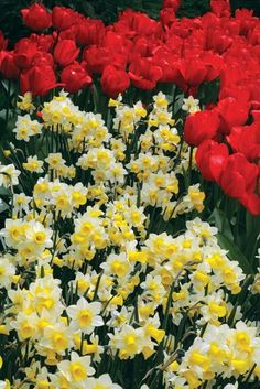 Fall Planting Tip: Different types of daffodils bloom at different times during the spring. The same is true for tulips and alliums. When purchasing bulbs, check the bloom times so you can enjoy a long season of flowers.