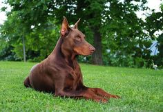 Dobermans are one of the few breeds in which albino-like dogs are found. Description from dogster.com. I searched for this on bing.com/images