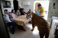 Credit: Renata Brito/AP The Borges family gather at the breakfast table with tiger Tom, in Maringa, Brazil.  Ary Borges, far right, who looks after nine tigers and two lionesses, is in a legal battle with federal wildlife officials to keep his endangered animals from being taken away from him and his family
