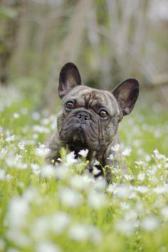 Cãezinhos Bulldog, Bulldog Puppies, Dogs And Puppies, Doggies, Sweet Dogs, Cute Dogs, Cute Friends, Pet Birds, Puppy Love