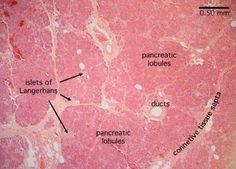 Pancreas Slide | Pancreas Histology - Pancreas (labels) - histology slide -