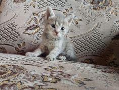 brit kék makréla kislány cica eladó a KellNekem.net-en Brit, Budapest, Animals, Animales, Animaux, Animal, Animais