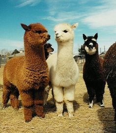 Cute alpaca...................I so want!