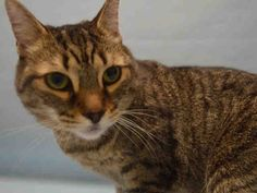 "FOSSIL - A1087369 - - Manhattan  *** TO BE DESTROYED 09/08/16 *** FOSSIL WOULD LIKE TO TELL YOU A LITTLE BIT ABOUT HERSELF….""Fossil was surrendered to the shelter because of client's housing problems. Fossil came in with sister (BAMBU), A1087366 (not listed). The two have been together since they were born and spend most of their time together. They are both a little shy around strangers and will hide under the bed together until they feel comfortable. Both of"