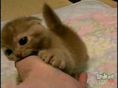 Cutest Kitten EVER - Can't Roll Over - YouTube