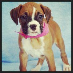 #Boxer #Puppy <3