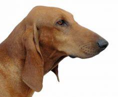 italian hound