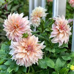Yard, Dahlias, Flowers, Plants, Instagram, Flower, Patio, Dahlia, Dahlia Flower