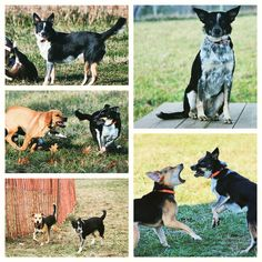 Lola is the greatest pleasure!  What a social butterfly & sweet lil cutie. #evasplaypupsPA #dogs #dogcamp #dogsinnature #runfree #runlikethewind #playtime #letsgetreadytorumble #dogsocialization #itsadogslife #brooklyndogs #autumntime #thegreatoutdoors #freshair #blueheelersofinstagram #dogsofinstagram #instadog #instapup #doggyvacays #doggievacays #dogboarding #pleasantmount #northeasternpa #PA #pennsylvania