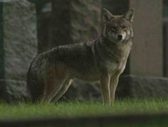CBC -The Nature of Things with David Suzuki - - Meet the Coywolf  moving through and exploiting the urban landscape