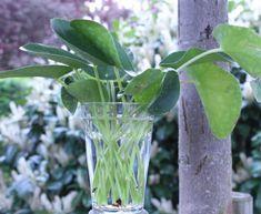Er din Pilea Peperomioides bar forneden? Planting Flowers, Planters, Garden, Tips, Plant Cuttings, Dekoration, Garten, Lawn And Garden, Plants