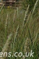 Ammophila arenaria5269