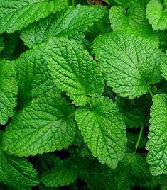 A MAGYAROK TUDÁSA: Gyógynövények alkalmazása, Gyűjtése - Fizikai és lelki gyógyulás Plant Leaves, Herbs, Latte, Black, Mint, Black People, Herb, Latte Macchiato, Spice