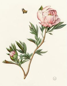 Peony. From the collection of botanical illustrations of flowers by Wendy Hollender.// floral, fauna, greenery, vintage, modern, flower art