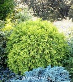 Golden Globe Arborvitae  Thuja occidentalis 'Golden Globe'    Handsome bright golden yellow foliage covers this dense, globe-shaped shrub. Golden foliage accepts full sun exposure without sunburn. Use with green leaved plants for a pleasing contrast. Evergreen.