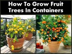 How To Grow Fruit Trees In Containers | Health & Natural Living