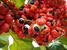 O guaraná,de origem amazônica. É encontrado no Brasil, Peru, Colômbia e Venezuela e conhecido pela boa concentração de cafeína.