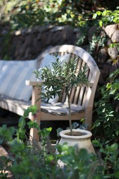 little olive tree