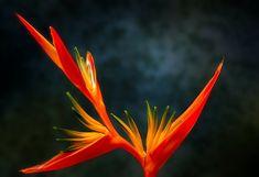 Strelitzia Reginae : Bird of Paradise Plant Exotic Plants, Exotic Flowers, Purple Flowers, Beautiful Flowers, Gerbera Flower, Anemone Flower, Flower Pots, Bouquet Flowers, Bridal Bouquets