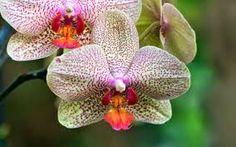 Risultati immagini per lillà pianta