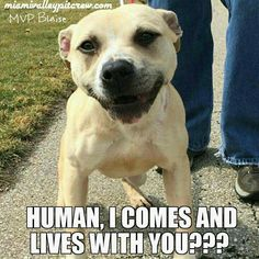 Human, I comes and lives with you?  Can you say no to this smiling face?  Go to miamivalleypitcrew.com to adopt a smiley dog today!