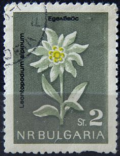 Bulgaria.  NATURE CONSERVATION -FLOWERS. LEONTOPODIUM ALPINUM.  Scott 1293 A593, Issued in 1963 Oct 9,  Photogravure, 2s, Perf. 11 1/2.
