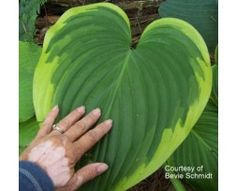 Hosta 'Victory', as you can see it is large