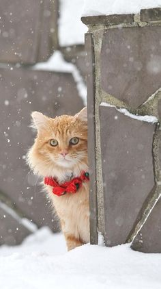 Rusty the Christmas cat in Vancouver, Washington