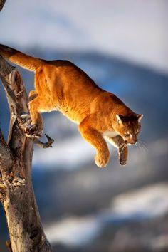 Shirley Lord Photos ~ Mountain Lion