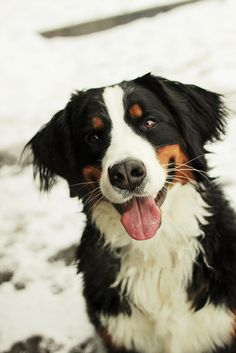 Bernese Mountain Dog #puppy