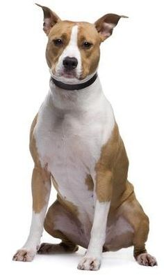 Are American Pit Bull Terriers the same as American Staffordshire Terriers? Dangerous Dogs, Dog List, American Staffordshire, American Pit, Pitbull Terrier, All Dogs, Dog Breeds, Pitbulls, Pets