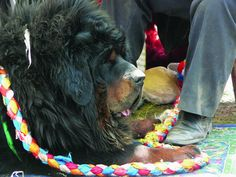 Yushu County, Tibet, in northwest China's Qinghai Province is renowned for being the biggest breeding center of Tibetan Mastiffs in the world. Modern Molosser  |  www.modernmolosser.com