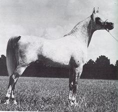 ANSATA IBN HALIMA++ #15897 (Nazeer x Halima, by Sheikh el Arab) 1958-1980 grey stallion bred by the EAO; imported to the US 1959 by Ansata Arabian Stud/ Don & Judi Forbis; sired 297 registered purebreds