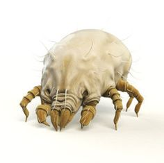 """Wingsets — How to get rid of dust mites. """"Lemon Oil –  61% of the dust mites were immobile after 30 minutes and 80% were dead after 2 hours. Lavender Oil – 86% were immobilized after 30 minutes and 87% were dead after 2 hours. Tea Tree Oil – 100% of the dust mites were immobilized after 30 minutes and were dead after 2 hours."""""""