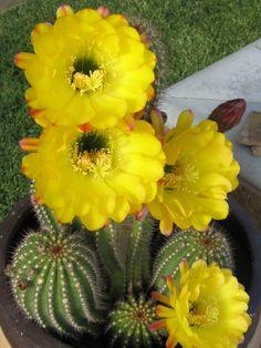 Red Torch Cactus, Desert's Blooming Jewel (Echinopsis huascha)