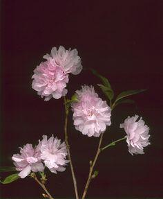 12007 Prunus 'Kwanzan' 325 | Flickr: Intercambio de foto
