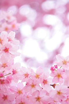 桜 Sakura Cherry Blossom Rosas Roxas, Sakura Cherry Blossom, Cherry Blossoms, Cherry Blossom Wallpaper, Cherry Blossom Background, Japan Sakura, Flower Backgrounds, Spring Backgrounds, Blossom Trees