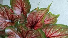 Red Angel wing leaves on white background royalty free stock photos