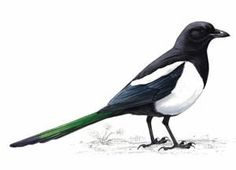 Are you a robin or a magpie? Paper Birds, Felt Birds, Bird Drawings, Easy Drawings, Big Garden Birdwatch, Magpie Tattoo, Crows Ravens, Rabe, Small Birds